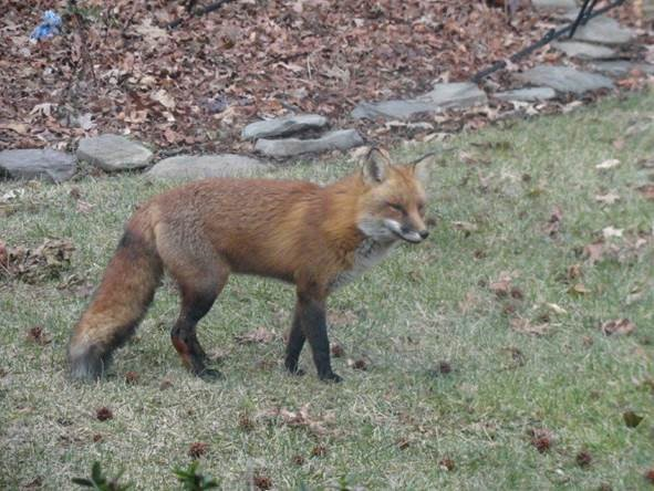 Neighborhood Fox